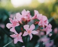 Bild eines Oleanderstrauchs, aufgenommen mit Kodak Portra 400