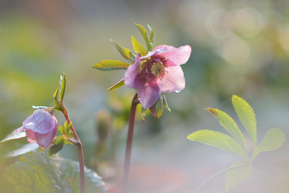 Lenzrose (Helleborus Hybride). Während das Hauptmotiv bei den meisten Beispielbildern im Schatten liegt, wird diese Blüte rückseitig von der Sonne angestrahlt und sieht so ganz transparent aus. Dieses Foto ist frühmorgens bei milder, tiefstehender Februarsonne gemacht. Die Sonne kann so die Blüte durchleuchten, ohne sie zu überstrahlen und die Farben verblassen zu lassen. Ein Pflanzenteil nahe der Linse vernebelt den Vordergrund, der nicht sonderlich attraktiv ist. Helleborusblüten sind keine einfachen Motive, weil die Blüten nach unten schauen. Um ihr attraktives Inneres abbilden zu können, muss man leicht von unten fotografieren, deshalb habe ich bei diesem Motiv, obwohl es nicht bodennah ist, einen Winkelsucher verwendet. Blende1,8, 1/160s, ISO200, 85mm